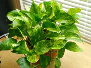 Golden pothos is an office plant with the heart of a tiger.