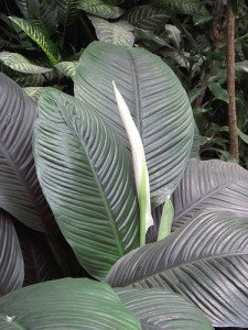 Large spathiphyllum make stunning specimens.