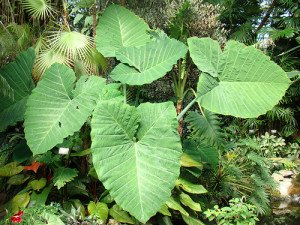 Elephant Ear Plant: Xanthosoma sagittifolium
