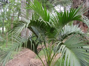 belmore sentry palm- cousin of the kentia palm