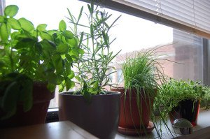 Grow only your favorite herbs indoors.