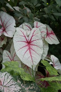 A colorful variation of Caladium bicolor