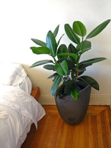 With it's sharp tropical look, it's no wonder why F. elastica is one of the most popular indoor trees.
