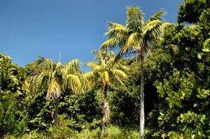 Kentia palm native habitat