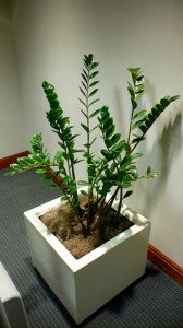 The ZZ plant makes an interesting and low-maintenance addition to the office.