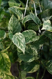 Golden pothos is one of the most common low light indoor plants