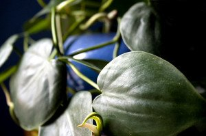 The heart-leaved philodendron is one of the hardiest very low light houseplants.