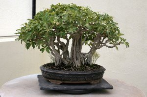 S. arboricola can be trained into bonsai with some skill and lots of patience.