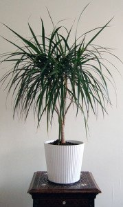 The more familiar look of the dragon tree when grown indoors.