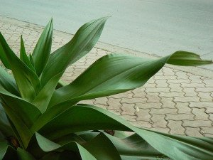 Green-leaved Dracaena make the best office plants.