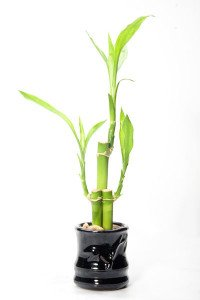This small Dracaena makes a superb low light houseplant that could improve your luck!