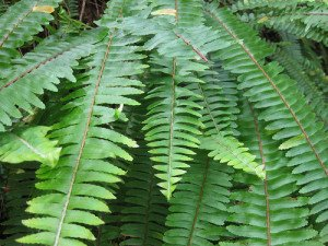The Boston fern requires moderate light levels to look its best.