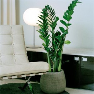 The ZZ plant: a true conversation piece among other low light indoor plants.
