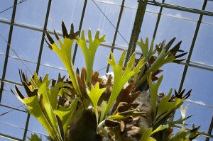 The staghorn ferm make a great indoor plant if provided with enough light.