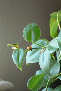 Heart-leaved philodrendron is an excellent low light houseplant.