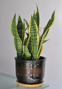 Snake plants make some of the toughest office plants.
