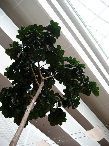 5 Best Indoor Trees For The Home or Office | Indoor Plants HQ