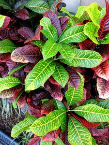 Croton are a striking indoor plant if you can provide strong direct light.