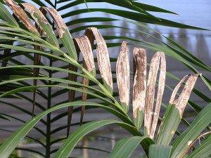 kentia palm disease