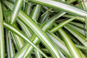 Spider plants do will indoors, wherever good indirect light exists.