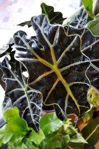 Elephant Ear Plant: Alocasia x. amazonica 'Polly'