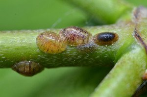 Scale insects are often difficult to detect until the plant shows signs of poor health or starts dripping sap.