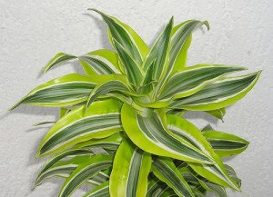 Variegated Dracaena require bright light to thrive.