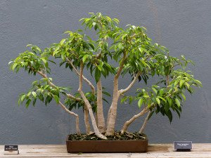 The weeping fig is well-known among bonsai enthusiasts for its suitability for training.