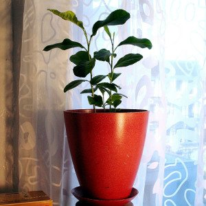 Lemon trees tend to suffer indoors due to weak light and stale air.