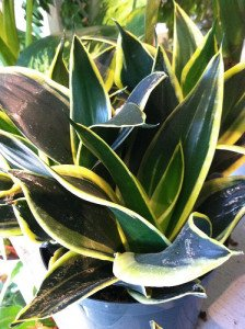 These snake plants exhibit strong growth and bright colors.