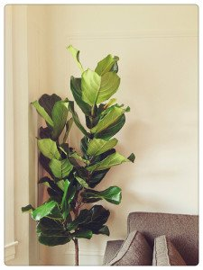 Fiddel leaf fig is one of the most tasteful indoor trees for interior-scaping.