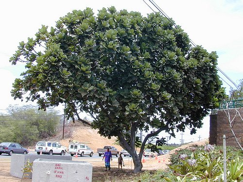 ficus lyrata outdoors is a very different looking tree