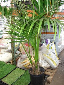Kentia palm ready for sale