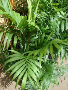 Parlor palm: one of the few plam species that can thrive in dim light indoors.