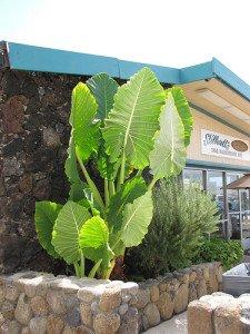 Elephant Ear Plant: the huge Alocasia macrorrhizos