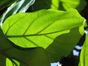 A health leaf of F. lyrata soaking up direct sunlight.