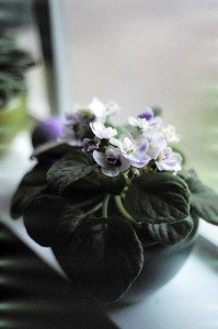 African violets don't require large pots to thrive.