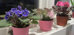 African violets are perfect windowsill plants