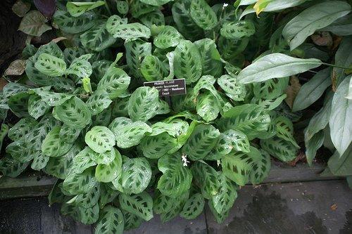 The prayer plant maranta leuconeura indoor plants hq for Maranta pianta