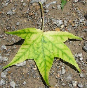 Sweetgum with telltale signs of iron choloris