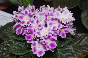 African violets thrive in humidity.